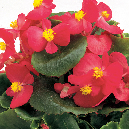 Begonia Semperflorens Ambassador F1 Rose Mini-plug Bedding Plants