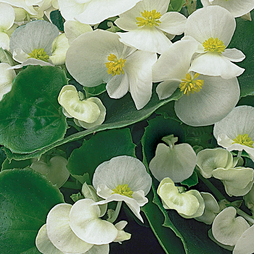 Begonia Semperflorens Ambassador F1 White Imp Mini-plug Bedding Plants