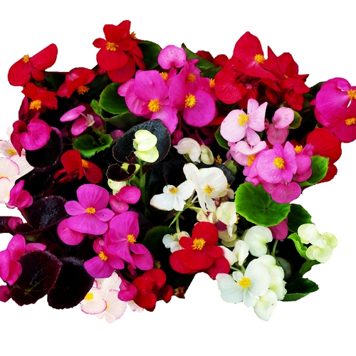 Begonia Semperflorens President F1 Mixed Mini-plug Bedding Plants