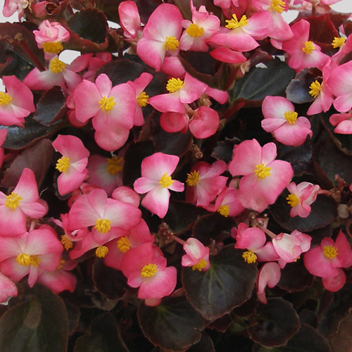 Begonia Semperflorens Senator F1 Rose Bicolour Mini-plug Bedding Plants