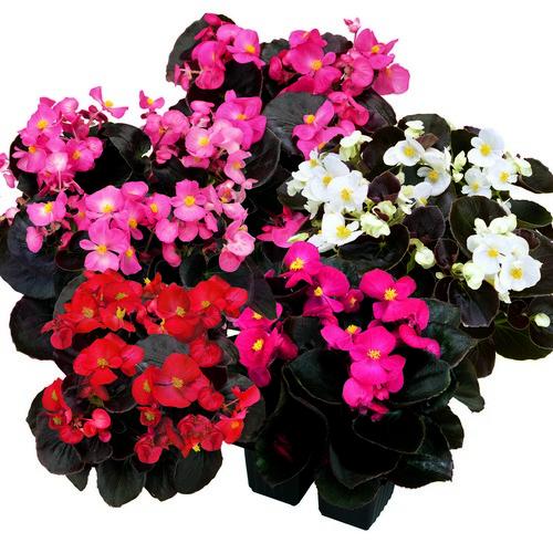 Begonia Semperflorens Senator F1 Mixed Mini-plug Bedding Plants