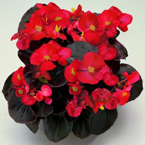 Begonia Semperflorens Senator F1 Scarlet Mini-plug Bedding Plants