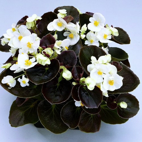 Begonia Semperflorens Senator F1 White Mini-plug Bedding Plants