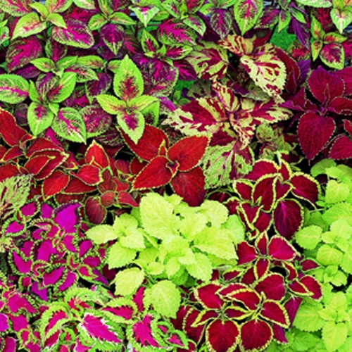 Coleus Fairway Mixed Mini-plug Bedding Plants