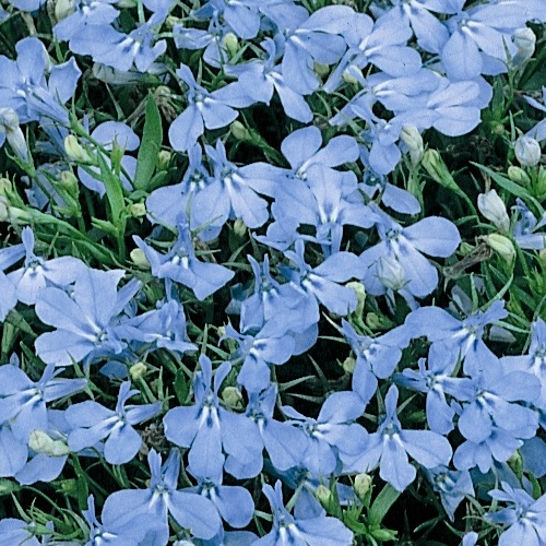 Lobelia Bush Cambridge Blue Mini-plug Bedding Plants