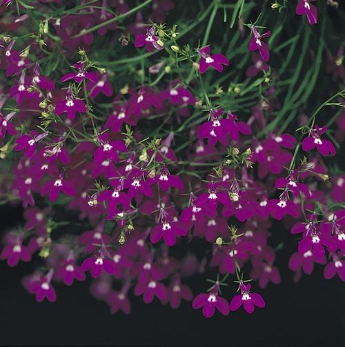 Lobelia Fountain Crimson Mini-plug Bedding Plants