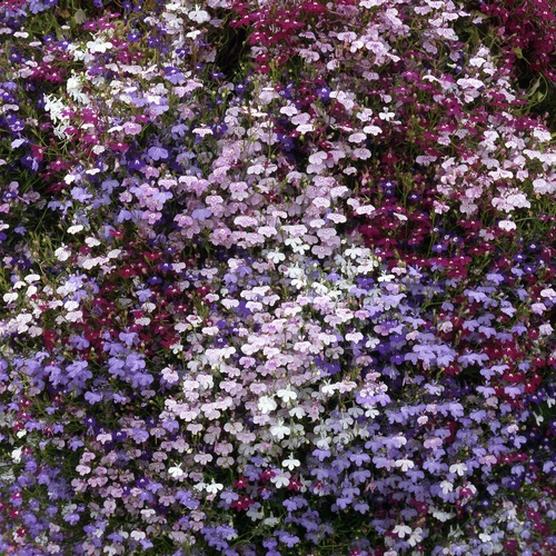 Lobelia Fountain Mixed Mini-plug Bedding Plants