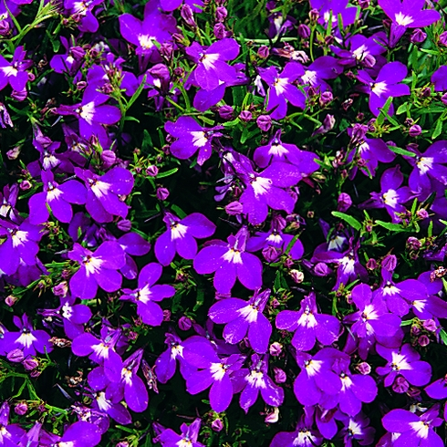 Lobelia Bush Rosamond Mini-plug Bedding Plants