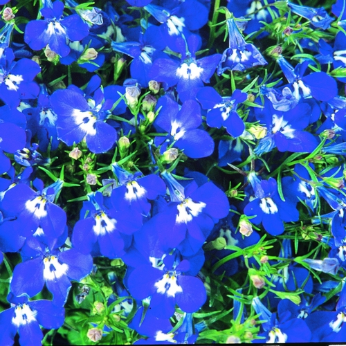 Lobelia Trailing Sapphire Mini-plug Bedding Plants
