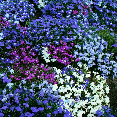 Lobelia Bush String Of Pearls Mini-plug Bedding Plants