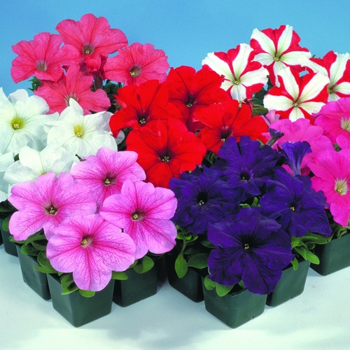 Petunia Grandiflora Eagle F1 Mixed Mini-plug Bedding Plants