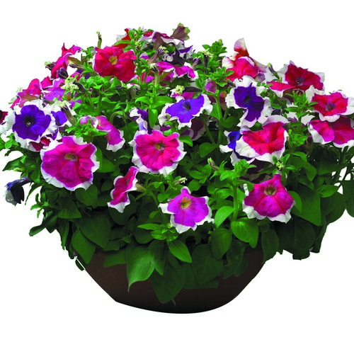 Petunia Grandiflora Hulahoop F1 Mixed Mini-plug Bedding Plants