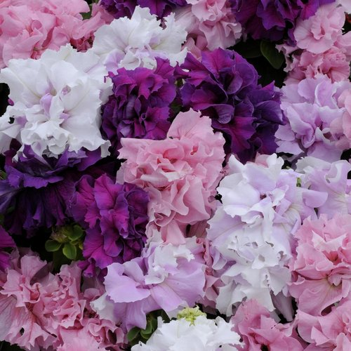 Petunia Multiflora Duo F1 Mixed Mini-plug Bedding Plants