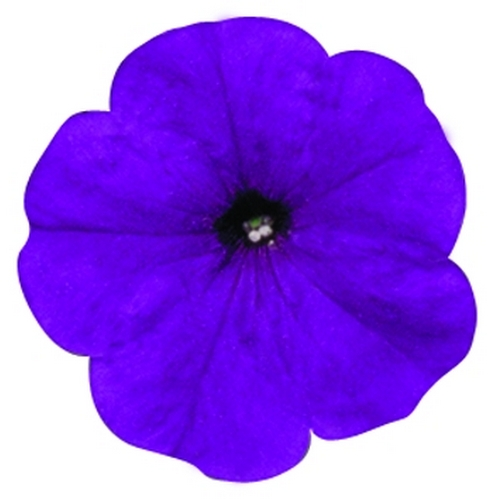 Petunia Multiflora Merlin F1 Blue Imp Mini-plug Bedding Plants