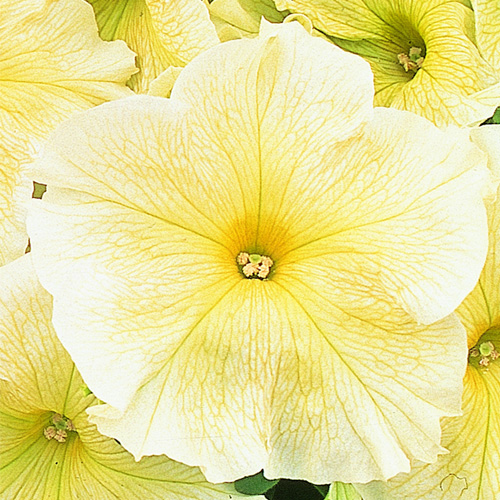 Petunia Grandiflora Eagle F1 Prism Sunshine Mini-plug Bedding Plants