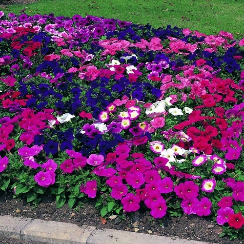 Petunia Multiflora Merlin F1 Mixed Mini-plug Bedding Plants