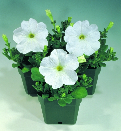 Petunia Multiflora Merlin F1 White Mini-plug Bedding Plants