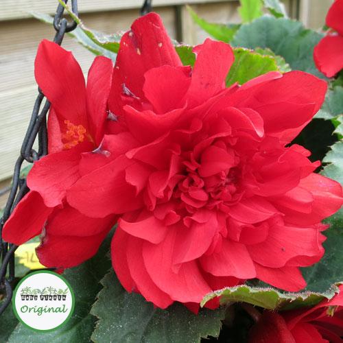 Begonia Illumination? Scarlet Plug Plant