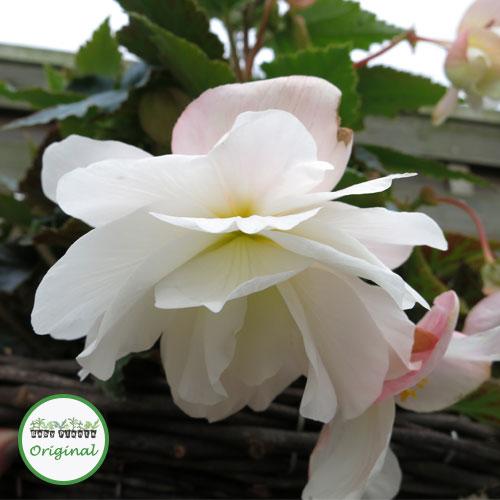 Begonia Illumination? White Plug Plant