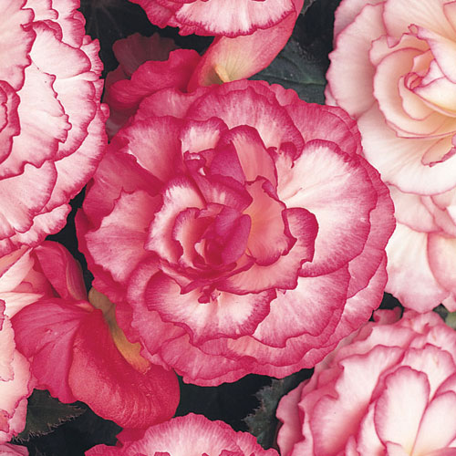 Begonia Nonstop? Rose Petticoat Plug Plant