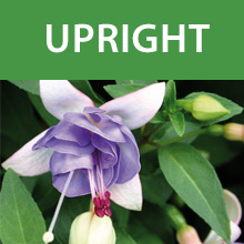 Buy Upright Hardy Fuchsias