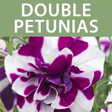 Double Petunias