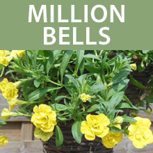 Million Bells & Mini Double Petunias