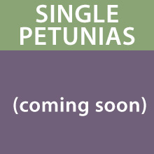 Trailing Petunias