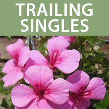 Trailing Single Geraniums