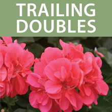 Trailing Double Geraniums