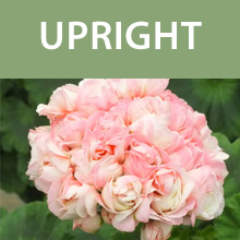 Upright Geraniums