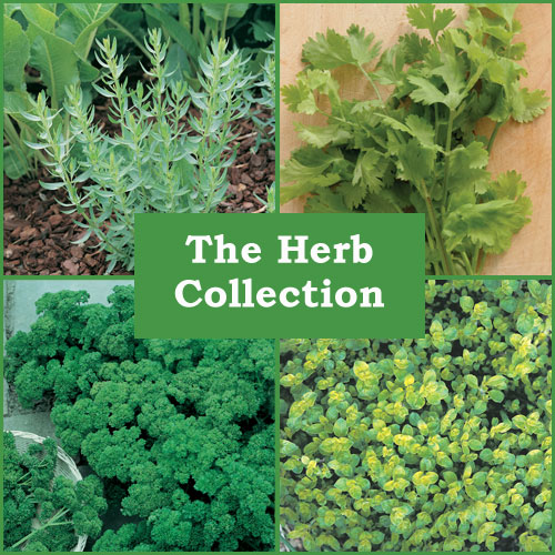 The Herb Collection (6 Plug Plants)