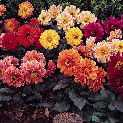 Dahlia Diablo™ Mixed Mini-plug Bedding Plants