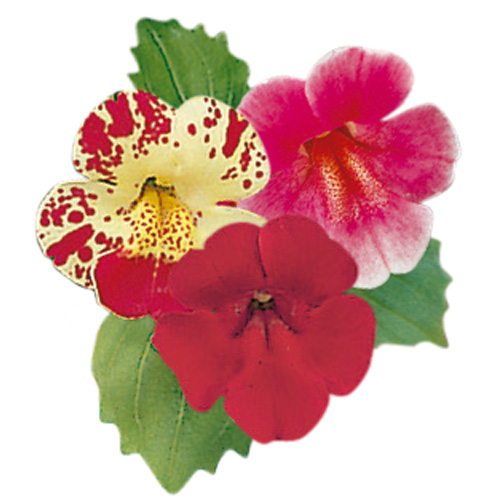Mimulus Sherry Trifle Mixed Mini-plug Bedding Plants