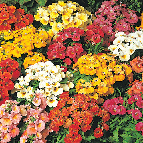 Nemesia Sundrops Mix Mini-plug Bedding Plants