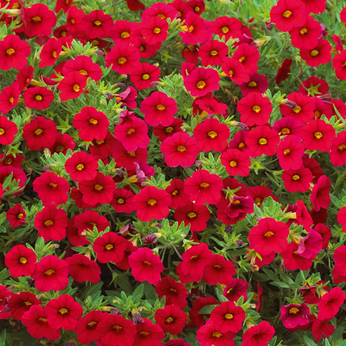 Million Bells® Bouquet Red Plug Plant
