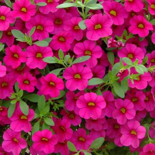 Million bells mini double petunias million bells brilliant pink plug plant mightylinksfo
