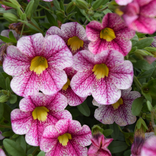Calibrachoa Calita® White Rose Vein Plug Plant