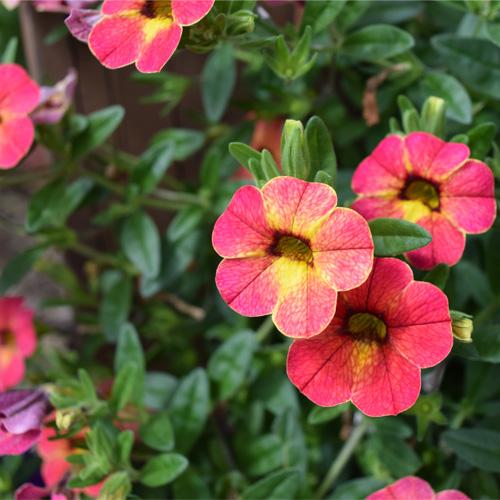 Calibrachoa Calita® Special Apricot Shades Plug Plant