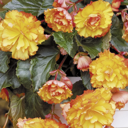 Begonia Illumination® Golden Picotee Plug Plant