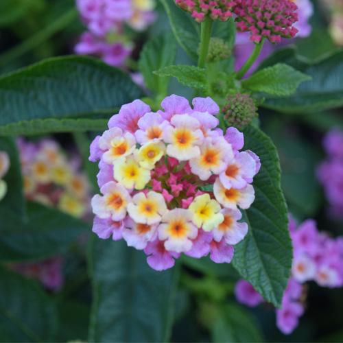 Lantana Esperanta® Pink Plug Plant