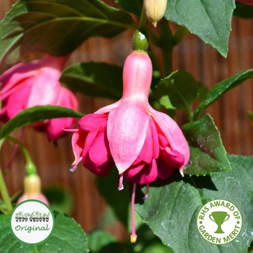 Fuchsia Upright Hardy Garden News Plug Plant