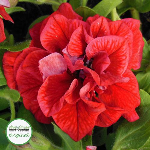 Petunia Tumbelina® Inga Plug Plant