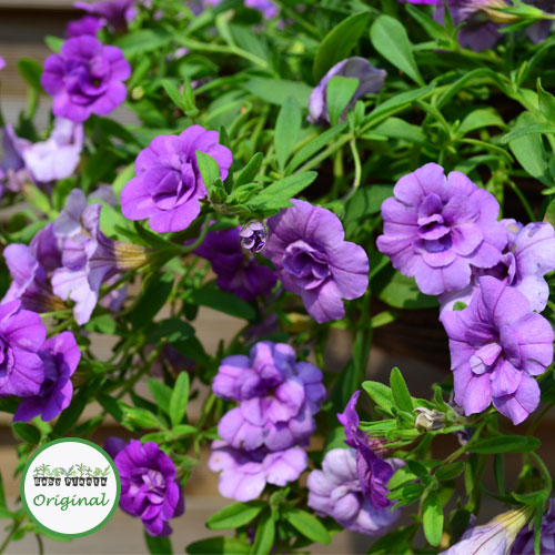Calibrachoa Calita® Double Blue Plug Plant