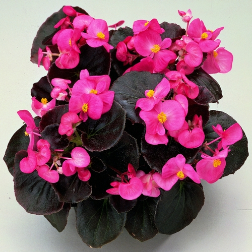 Begonia Semperflorens Senator F1 Rose mini-plug bedding plants