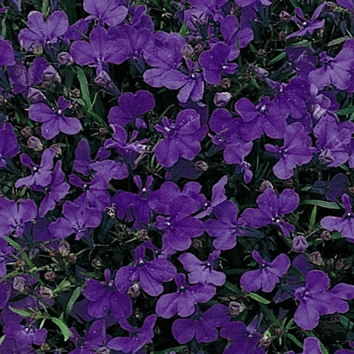 Lobelia Bush Crystal Palace Mini-plug Bedding Plants