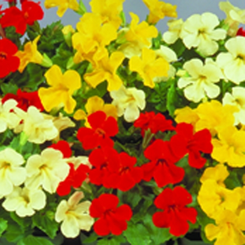 Mimulus Mystic Mixed mini-plug bedding plants