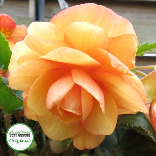 Begonia Illumination® Apricot Shades Plug Plant