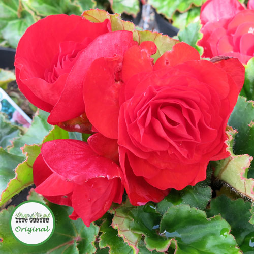 Begonia Nonstop® Red Plug Plant